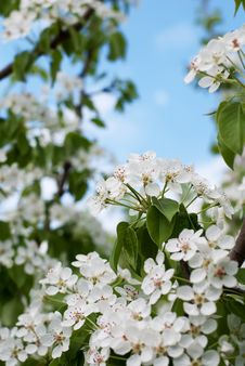 Free Cherry Blossom Close-up Stock Photos - 14424993