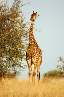 Free Giraffe In Africa Royalty Free Stock Images - 14425059