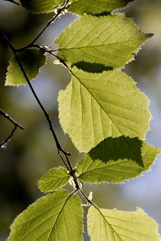 Free Spring Beech Leaves Stock Photos - 14425293