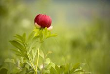 Free Wild Peony Flower Stock Images - 14425504