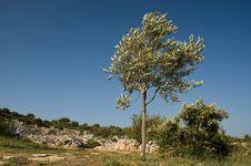 Free Olive Tree Royalty Free Stock Photo - 14425565