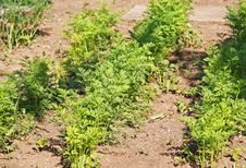 Seedbed Of Vegetables Royalty Free Stock Image
