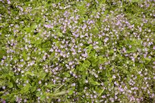 Free Wild Purple Flowers In A Meadow Royalty Free Stock Image - 14425656