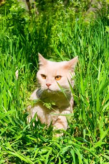 Free English Sleek-haired Cat Stock Photos - 14425863