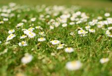Free Daisies Stock Image - 14426431