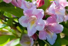 Free Close Up Of Beautiful Blooming Peach Tree Royalty Free Stock Photography - 14427167