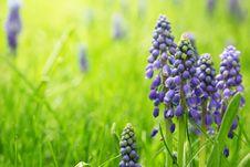 Free Grape Hyacinth Stock Photo - 14427660