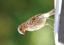 Free Sparrow Royalty Free Stock Photo - 14427785