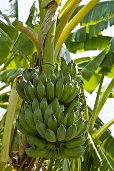 Free Green  Banana Royalty Free Stock Photos - 14428318