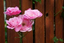 Free White Pink Rose Fence Stock Image - 14428451