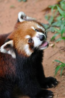 A Lesser Panda Royalty Free Stock Images