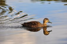 Free Peace And Stillness - Swimming Duck Royalty Free Stock Image - 14428886