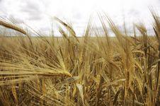 Free Ripe Wheat Royalty Free Stock Image - 14429096