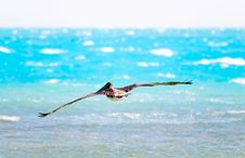 Free Pelican Stock Images - 14429104