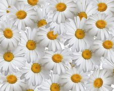 Free Summer Background, Daisies Royalty Free Stock Photo - 14429305