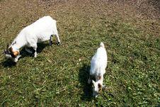 Free Goat Stock Photo - 14429360