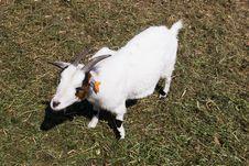 Free Goat Stock Photos - 14429433