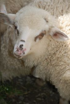 Free Portrait Of A Sheep Royalty Free Stock Photography - 14429847