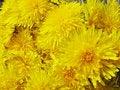 Free Bouquet Of Field Dandelion Flowers Royalty Free Stock Photos - 14436008