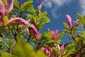 Free Pink Magnolias Royalty Free Stock Photo - 14439815