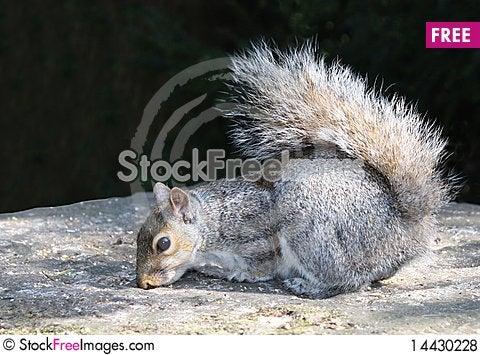Free Grey Squirrel. Royalty Free Stock Photos - 14430228