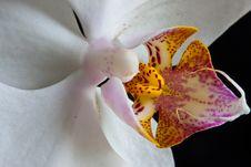 Free Phalaenopsis Orchid Stock Image - 14430001