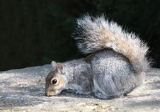 Free Grey Squirrel. Royalty Free Stock Photos - 14430228