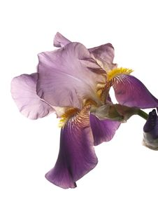 Free Iris Flower Royalty Free Stock Images - 14430389