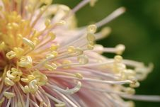 Free Chrysanthemum Royalty Free Stock Images - 14431659