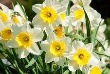 Free Blossoming Narcissuses Stock Photo - 14431840