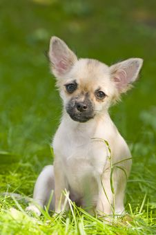 Free Chihuahua Puppy On A Green Lawn Stock Images - 14431904