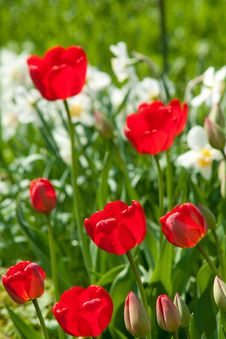 Free Red Tulips Royalty Free Stock Photos - 14431908