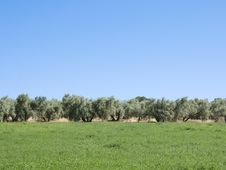 Free Olive Plantation Stock Photos - 14431913