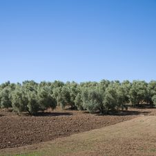 Free Olive Plantation Royalty Free Stock Images - 14431949