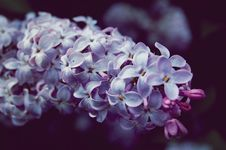 Free Purple Flowers Royalty Free Stock Images - 14431989