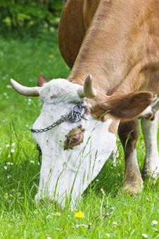 Free Cow Stock Image - 14432071