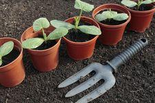 Free Vegetable Seedlings Growing In Pots Royalty Free Stock Photo - 14434015