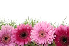 Free Pink Gerbera Flower Isolated On White Stock Photography - 14434102