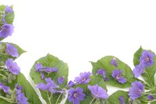 Free Violets  Flowers Over White Background Royalty Free Stock Images - 14434139