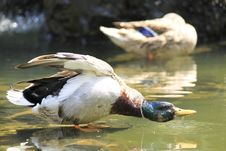 Free Ducks In The Water Stock Photo - 14434200