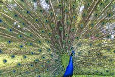 Free The Peacock Stock Photos - 14434283