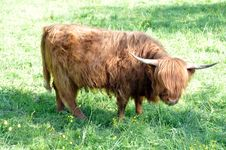 Free Highland Cow 3 Stock Image - 14434521
