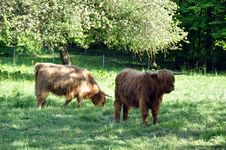 Free Highland Cows 1 Stock Image - 14434611