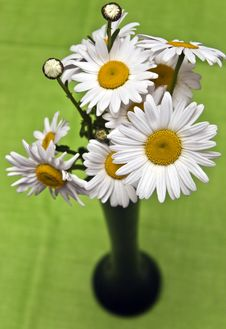 Free Daisies In Green Stock Photos - 14434713