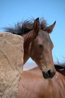 Free Foal Of A Wild Horse Stock Photography - 14434792