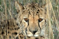 Free Cheetah (Acinonyx Jubatus). Royalty Free Stock Photography - 14434827