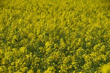 Free Closeup Of Yellow Rape Plants Royalty Free Stock Photography - 14435717