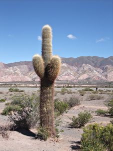Old Giant Cactus Under Blue Sky From Salta Stock Images