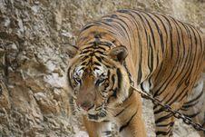Free Tiger Stock Photos - 14436553