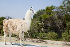 Free White Lama Stock Photo - 14436810